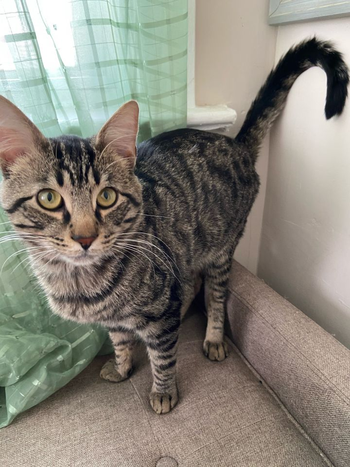 Hardy, an adopted Domestic Short Hair in Staten Island, NY