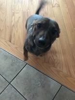 Axel, an adopted Dachshund Mix in Avon, MA