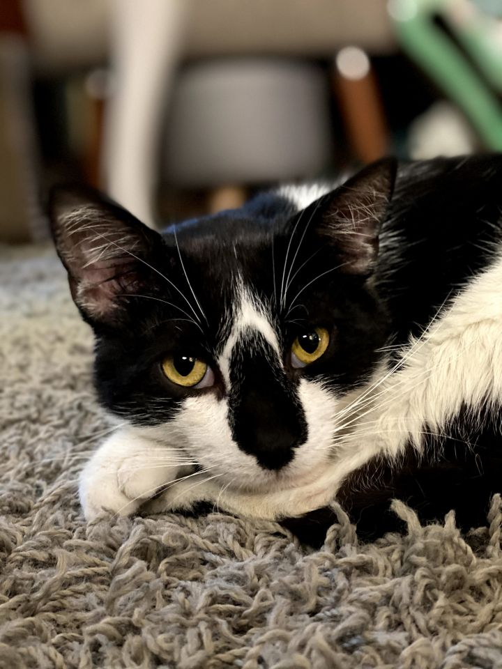 Rocky, an adoptable Domestic Short Hair in Madison, WI_image-2