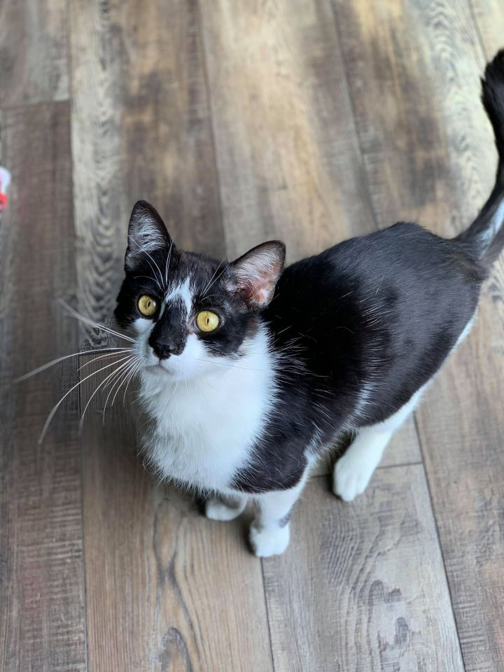 Rocky, an adoptable Domestic Short Hair in Madison, WI_image-1