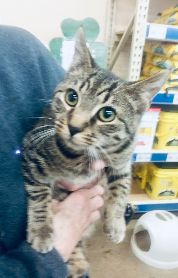 Iko, an adoptable Tabby in Louisville, KY