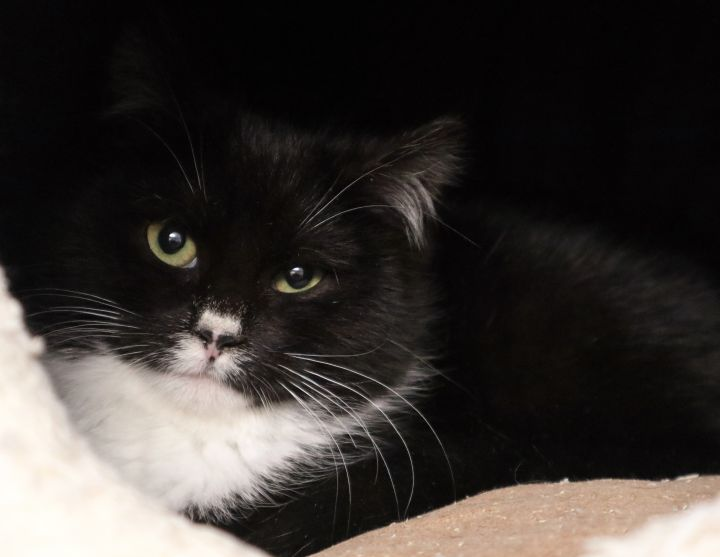 Fannie, an adopted Domestic Medium Hair in Forked River, NJ