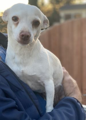 BLONDIE! JRT/Chi X Cutie Jack Russell Terrier Dog