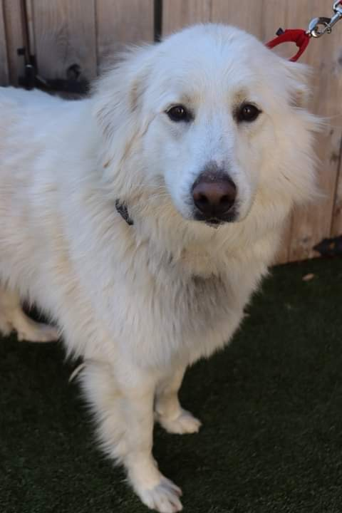 Gustave, an adoptable Great Pyrenees Mix in Springfield, MO_image-2