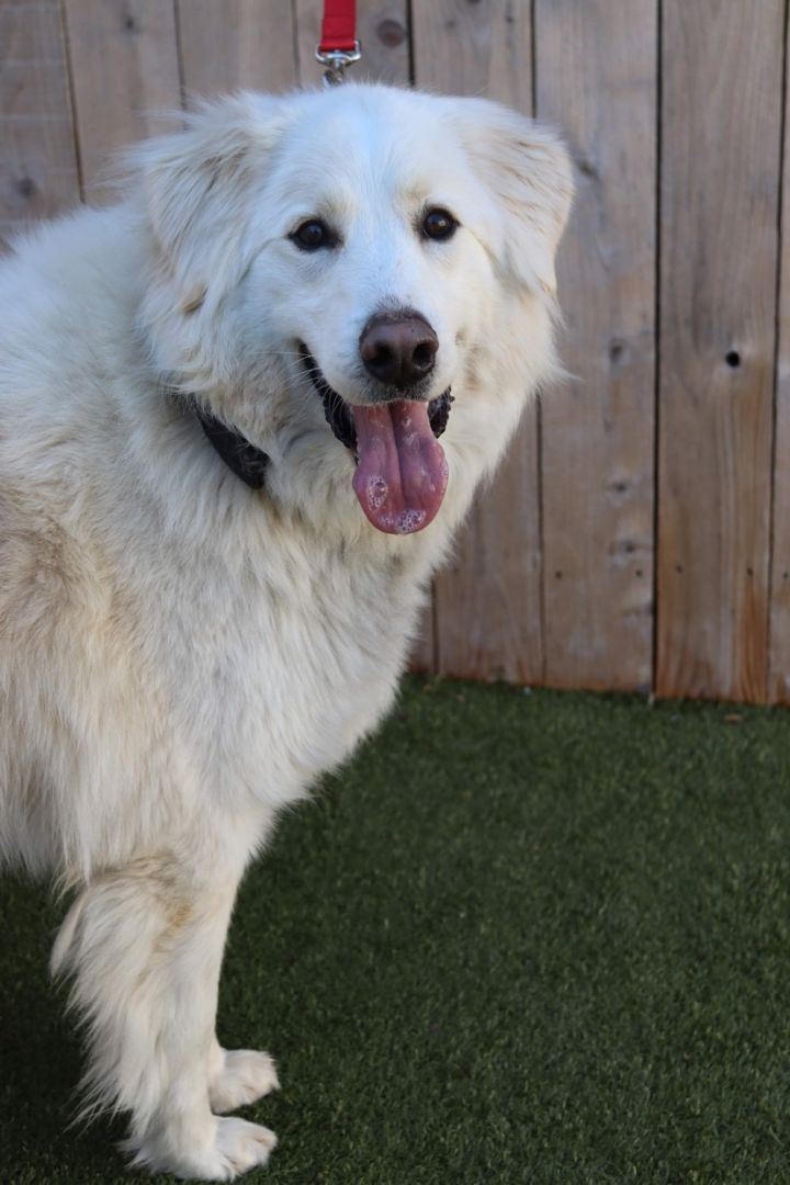 Gustave, an adoptable Great Pyrenees Mix in Springfield, MO_image-5