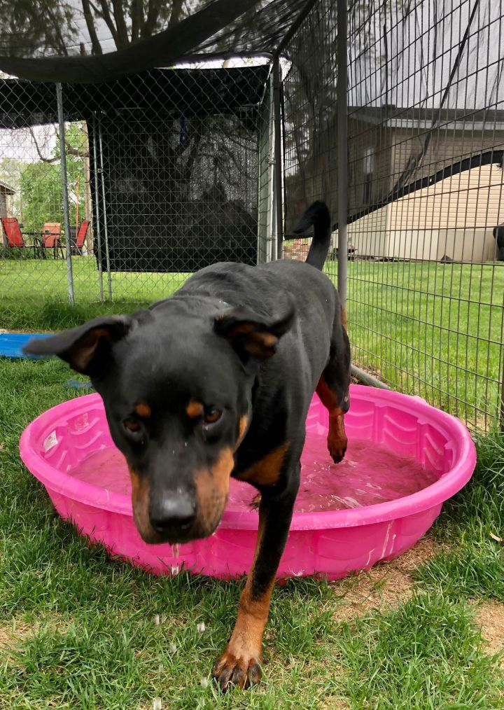 Stitch, an adoptable Rottweiler in Lincoln, NE