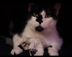 Mou Domestic Short Hair Cat