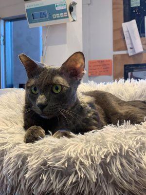 NoHo Hank Domestic Medium Hair Cat