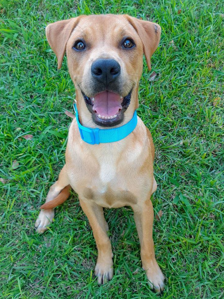 Toby PR Lab Hound Puppy 1