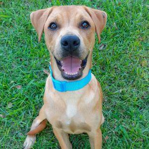Toby PR Lab Hound Puppy