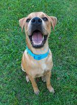 Toby PR Lab Hound Puppy 4