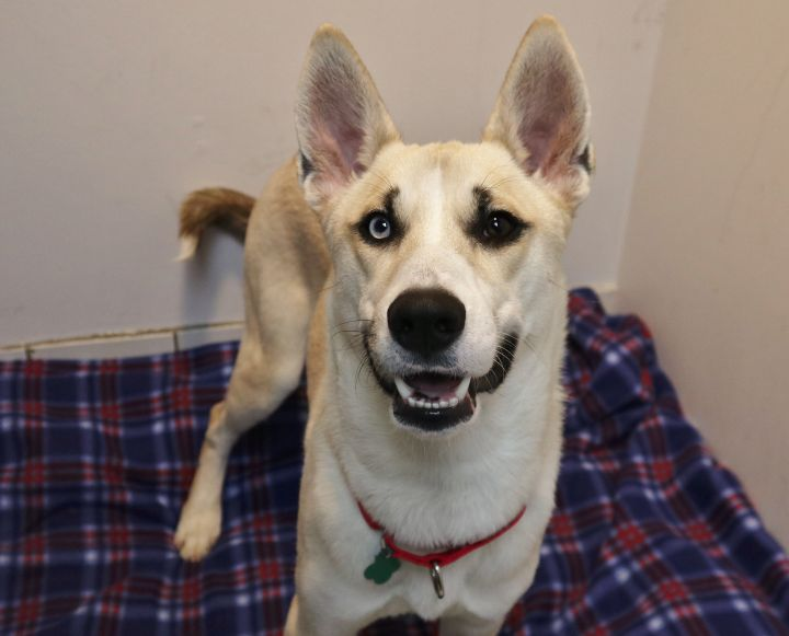 Kingsley, an adopted Shepherd & Husky Mix in Forked River, NJ
