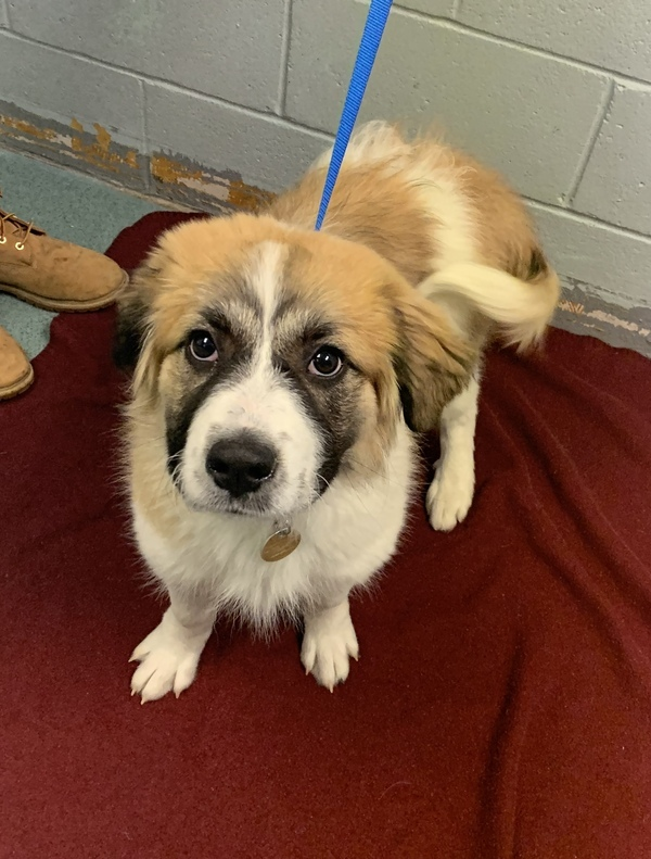 Jolene, an adoptable Great Pyrenees & Saint Bernard Mix in Louisville, KY