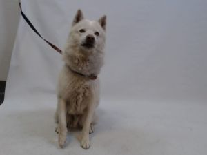 21-06608 Husky Mix White Impounded on 02112021 from Bellflower Available for adoption holds on 02