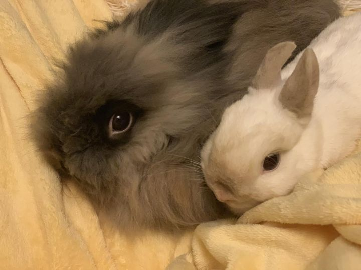 Benny & Harriet, an adopted Netherland Dwarf & Lionhead Mix in Philadelphia, PA
