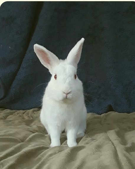 Daniel, an adoptable Florida White & Netherland Dwarf Mix in Philadelphia, PA