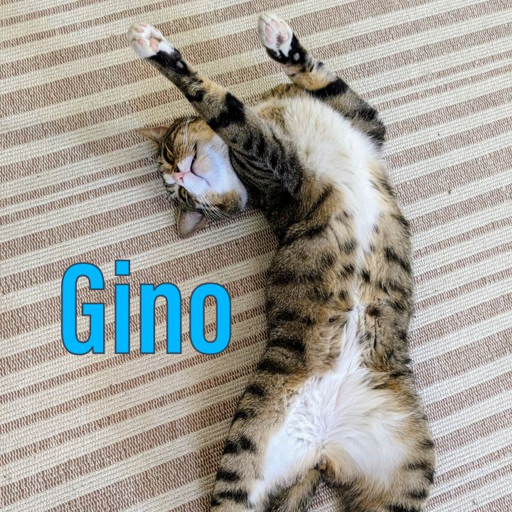 Gino the Gentleman, an adoptable Domestic Short Hair & Tuxedo Mix in Port Chester, NY