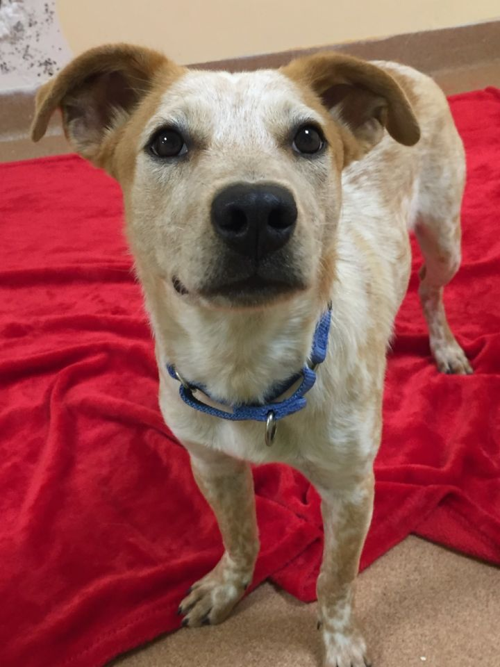 Marshmallow, an adopted Cattle Dog Mix in Norwalk, CT