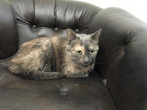 GRACE Domestic Short Hair Cat