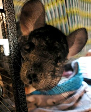 Millie is a FEMALE Chinchilla around 5 years old who is very sweet vocal and personable This swe