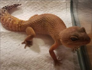 FEMALE Leopard Gecko around 5 years old Very sweet and easily handled Requires an experienced own