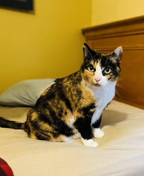 Kitty, an adoptable Domestic Short Hair in Reston, VA