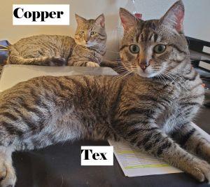 Copper and Tex (Petco La Habra) Tabby Cat