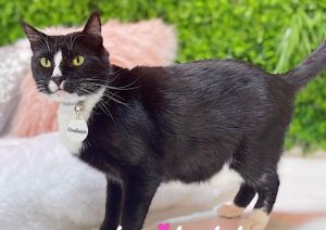 Chadwick (needs a FOSTER!) Domestic Short Hair Cat