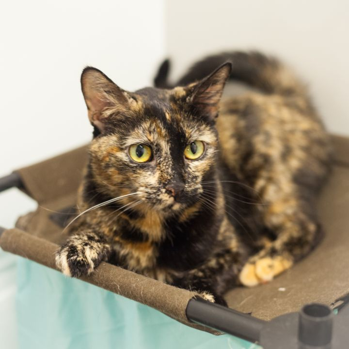 Gabrianna, an adopted Domestic Short Hair & Tortoiseshell Mix in Ponte Vedra, FL_image-2