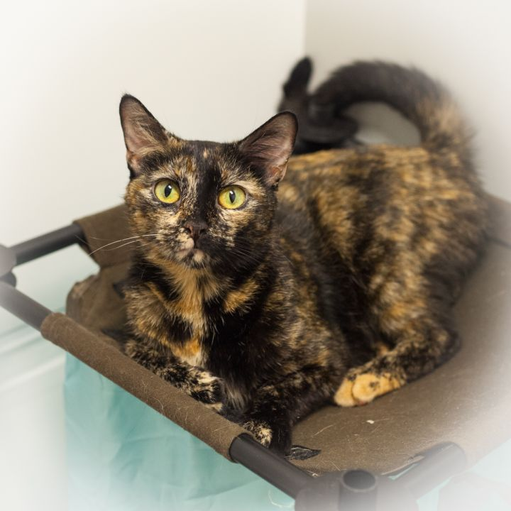 Gabrianna, an adopted Domestic Short Hair & Tortoiseshell Mix in Ponte Vedra, FL_image-3
