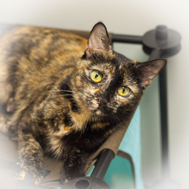 Gabrianna, an adopted Domestic Short Hair & Tortoiseshell Mix in Ponte Vedra, FL_image-4