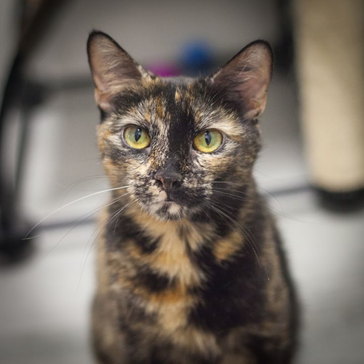 Gabrianna, an adopted Domestic Short Hair & Tortoiseshell Mix in Ponte Vedra, FL_image-5