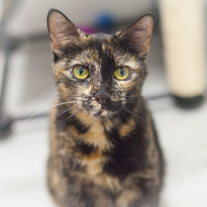 Gabrianna, an adopted Domestic Short Hair & Tortoiseshell Mix in Ponte Vedra, FL_image-1