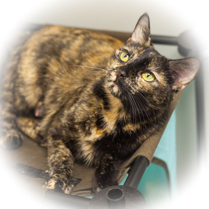 Gabrianna, an adopted Domestic Short Hair & Tortoiseshell Mix in Ponte Vedra, FL_image-6