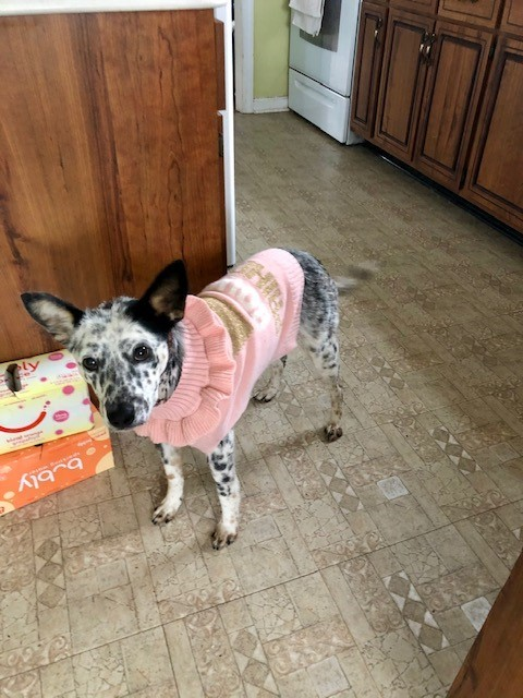 Maui, an adoptable Australian Cattle Dog / Blue Heeler in Colonial Beach, VA