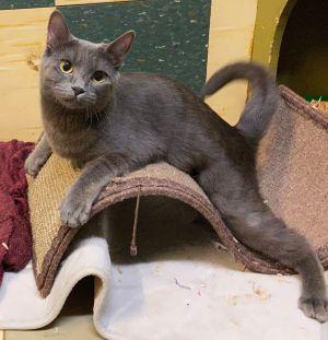 Pearl American Shorthair Cat