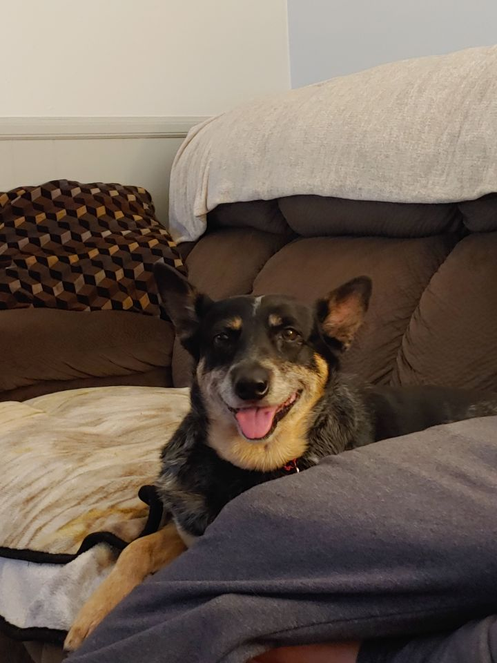 Sassy, an adopted Australian Cattle Dog / Blue Heeler in Churchville, NY