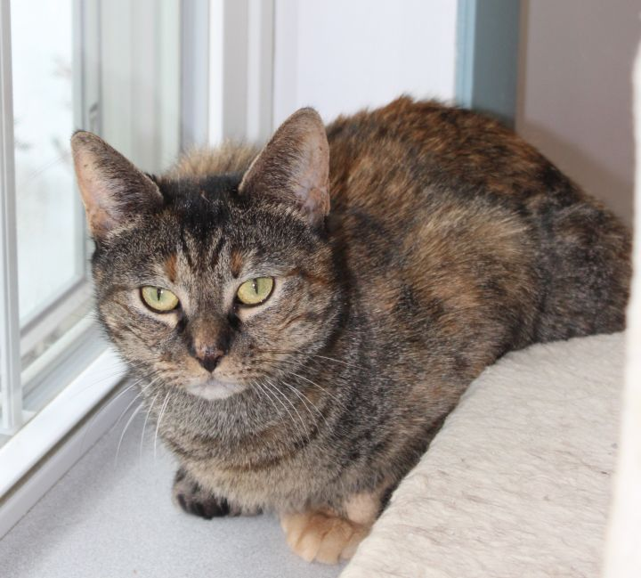 Polly, an adopted Extra-Toes Cat / Hemingway Polydactyl & Tortoiseshell Mix in Medfield, MA