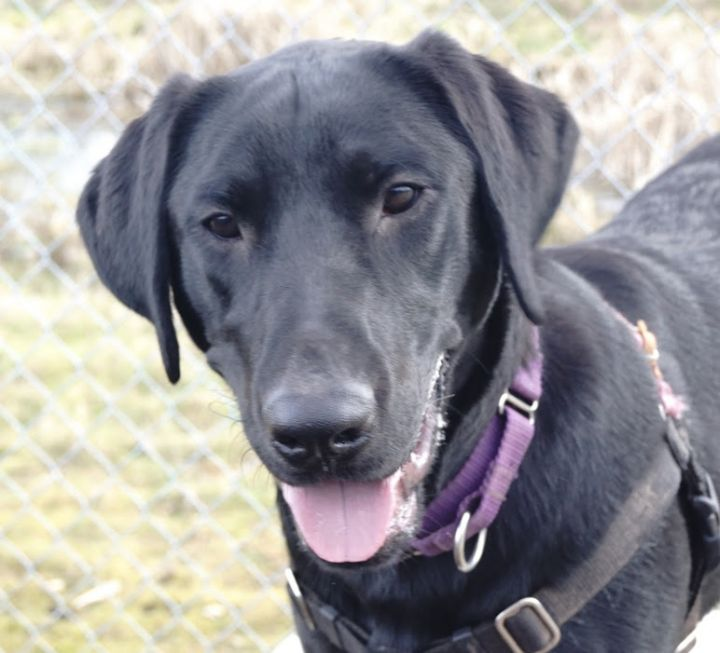 Isaac, an adopted Labrador Retriever in Bellingham, WA