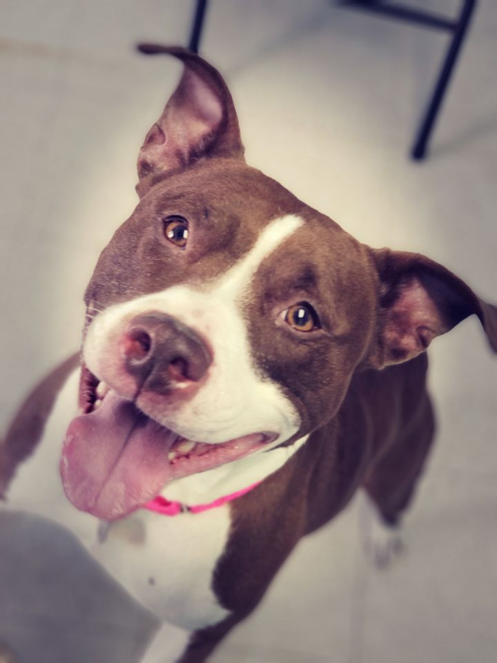 Mya, an adoptable Pit Bull Terrier Mix in Altoona, PA_image-1