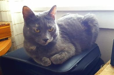 Harley, an adoptable Domestic Short Hair & Tortoiseshell Mix in Kentwood, MI