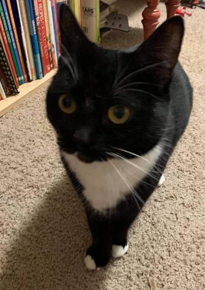 Gemma, an adopted Tuxedo & Domestic Short Hair Mix in Benicia, CA_image-4