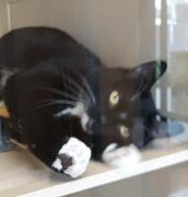 Gemma, an adopted Tuxedo & Domestic Short Hair Mix in Benicia, CA_image-5