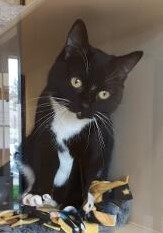Gemma, an adopted Tuxedo & Domestic Short Hair Mix in Benicia, CA_image-1