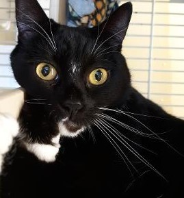 Gemma, an adopted Tuxedo & Domestic Short Hair Mix in Benicia, CA_image-6