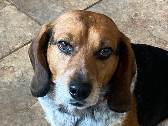 Levi, an adoptable Beagle & Hound Mix in Cincinnati, OH