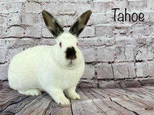 TAHOE Bunny Rabbit Rabbit