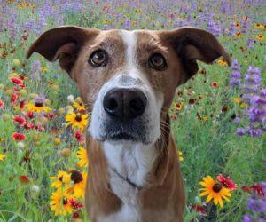 MUNECA Australian Cattle Dog / Blue Heeler Dog