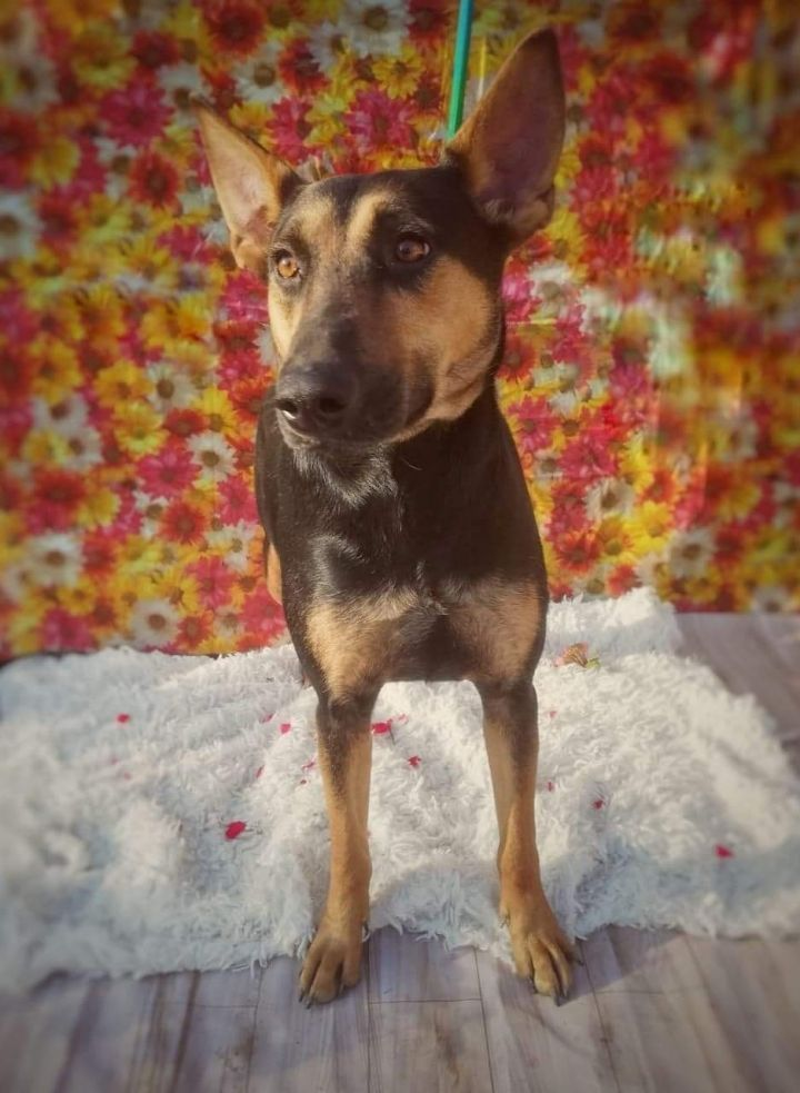 Hope, an adoptable Doberman Pinscher & Shepherd Mix in San Diego, CA