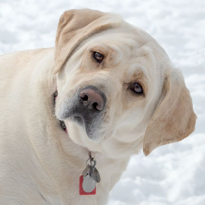 Angel, an adoptable Labrador Retriever in Westfield, NY